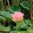 Le Lotus (Nelumbo)