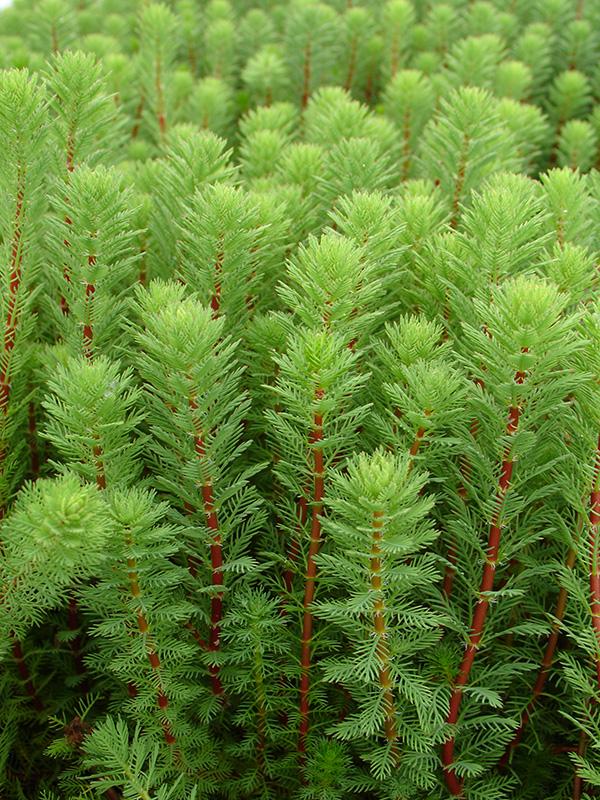 Design plantes oxygenantes pour bassin 2933 plantes - Bassin plantes oxygenantes besancon ...